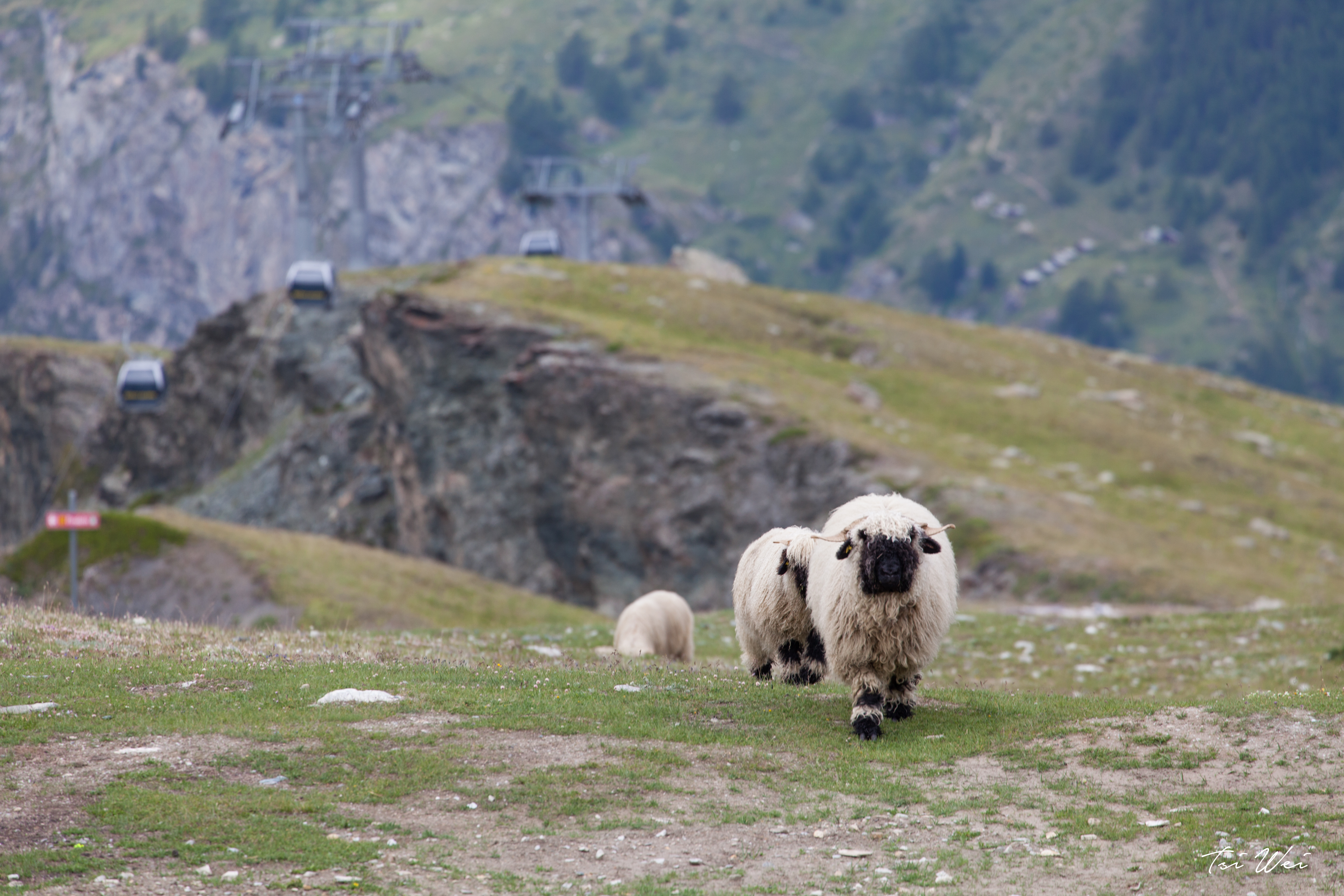 Valais sheep - Zermatt, Switzerland