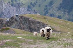 Valais sheep - Zermatt, Switzerland