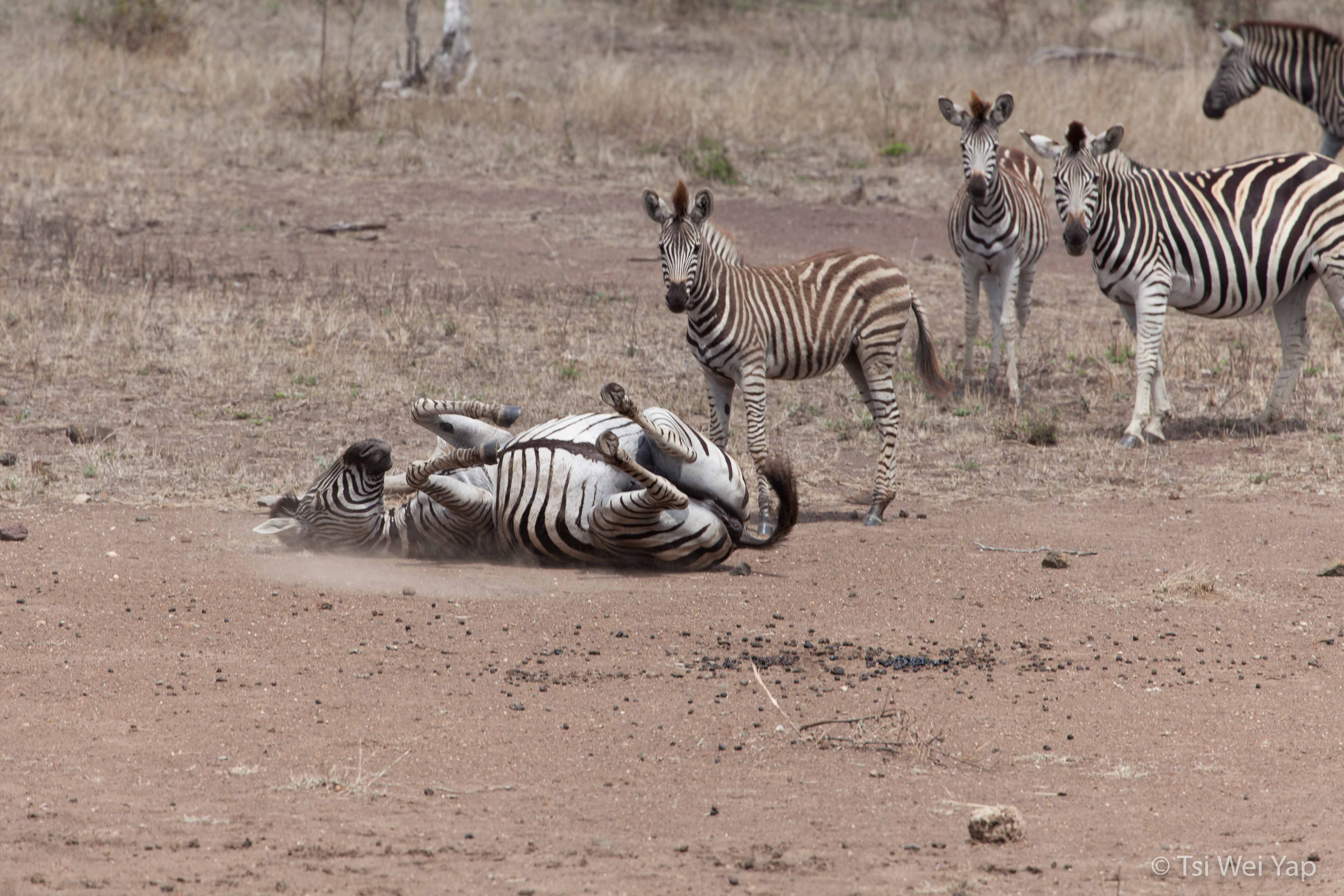 Zebras in Kruger National Park