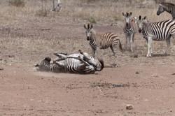 Zebras in Kruger National Park