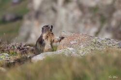 Marmot at the Swiss Alps - Zermatt