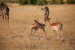 Impala - Hwange National Park