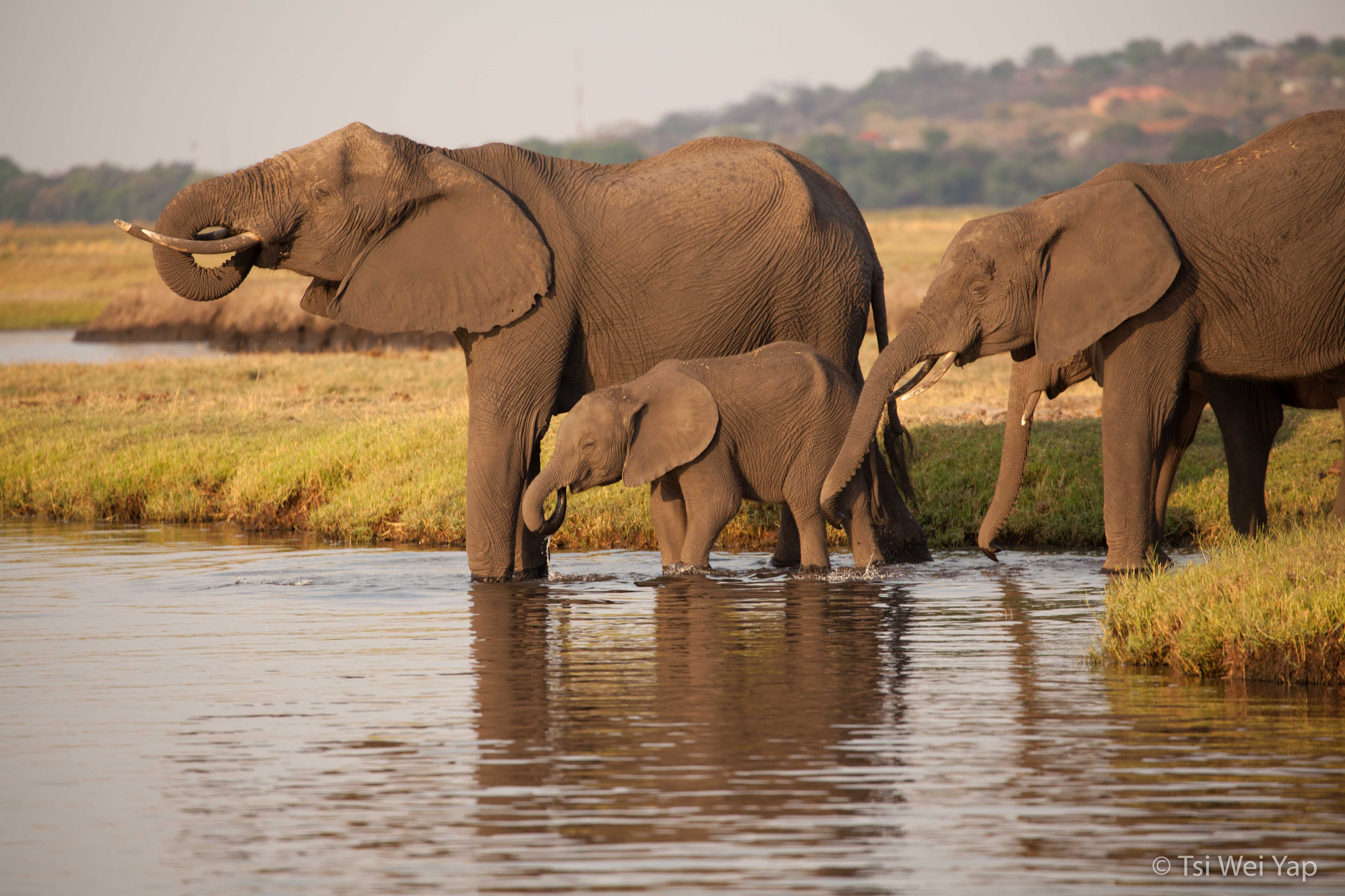 Elephants - Chobe River