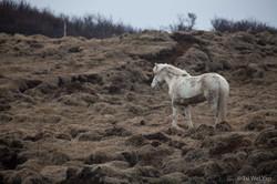 Icelandic Horse_
