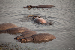 Rolling Hippo - Chobe River