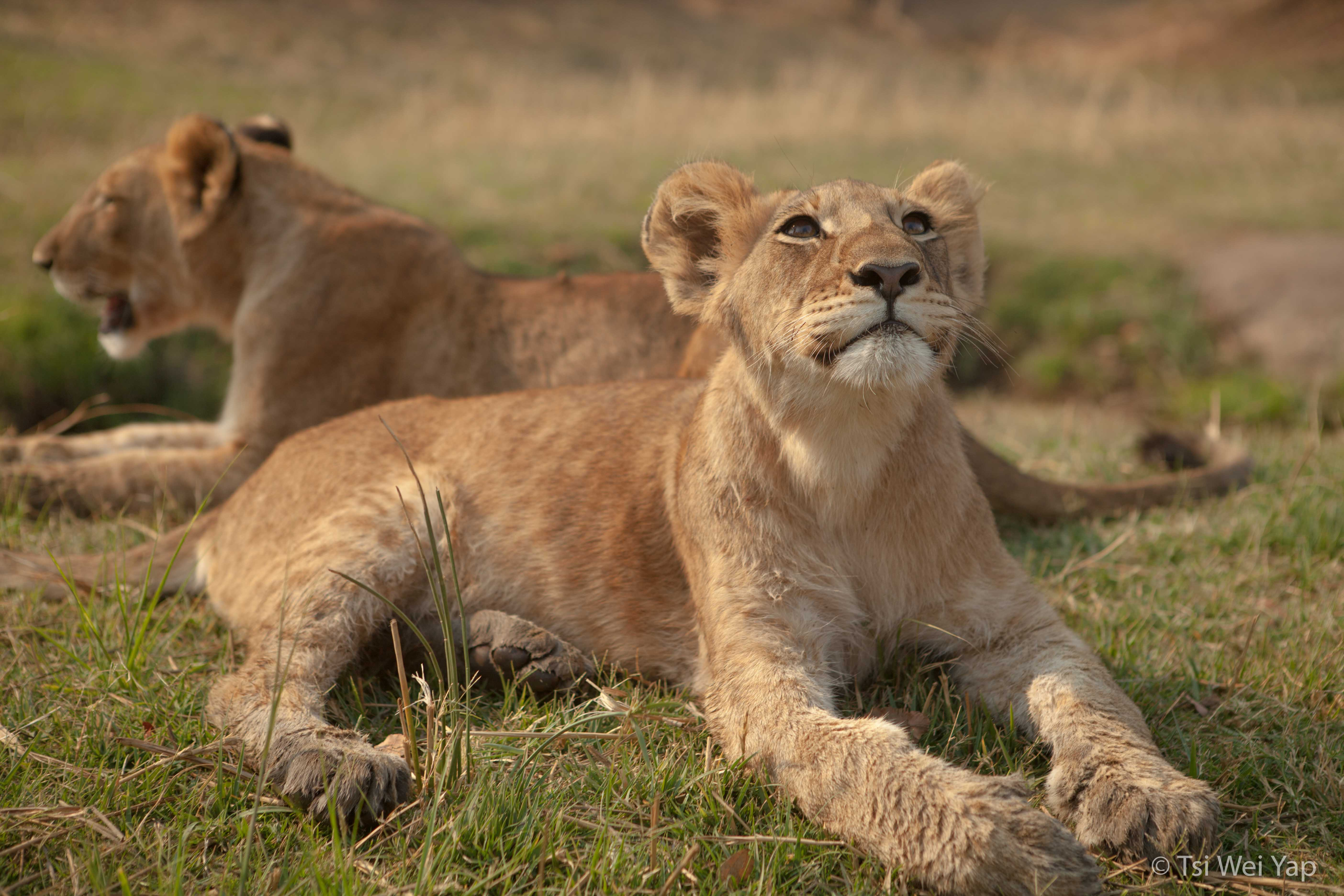 Lion Cubs - Zimbabwe Conservation