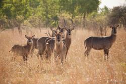 Waterbuck - Hwange National Park