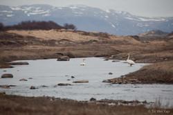 Icelandic Geese_