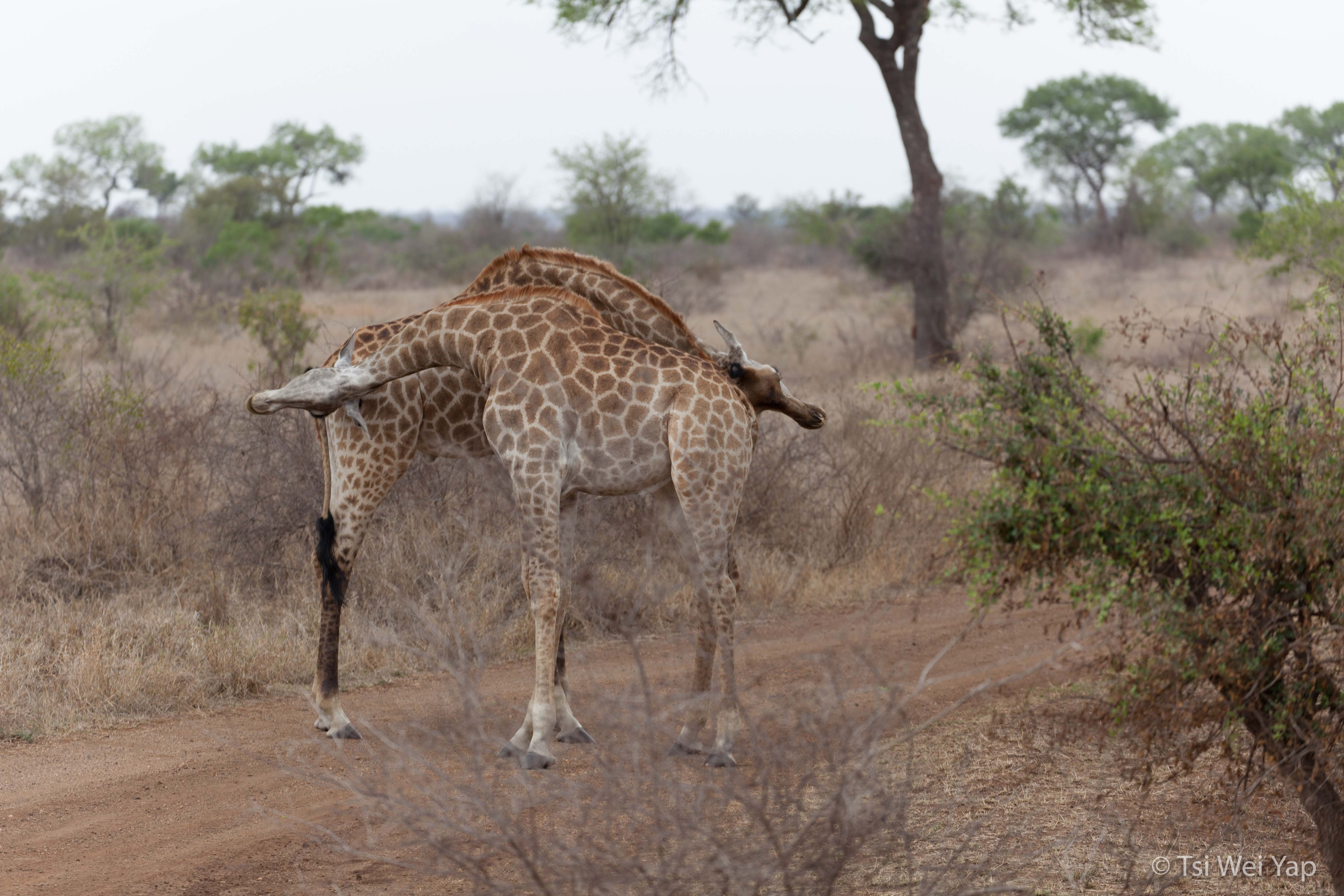 Giraffes Mating Ritual - Kruger National Park