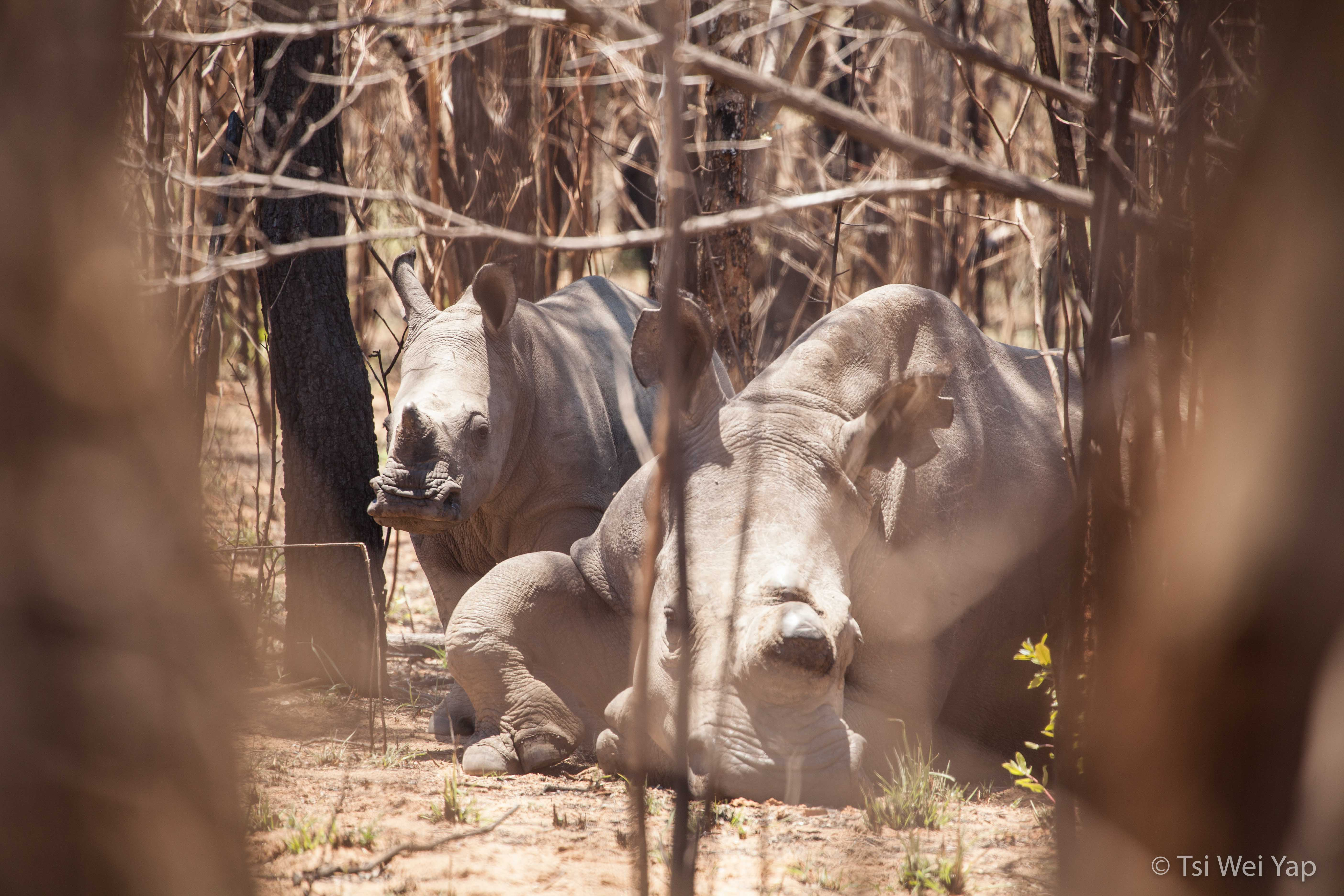 White Rhino - Matobos National Park