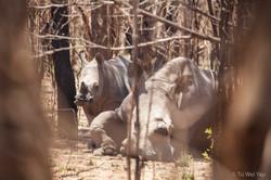 White Rhino - Matobos National Park