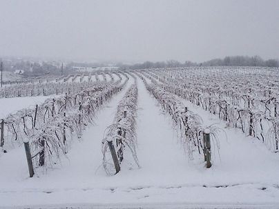 The vineyards during a tough winter