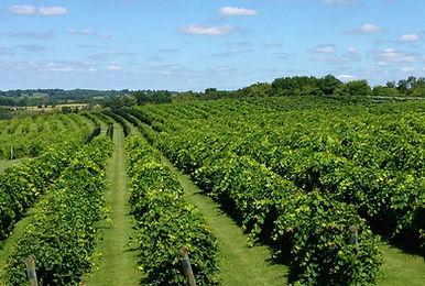 July Vineyard in full swing