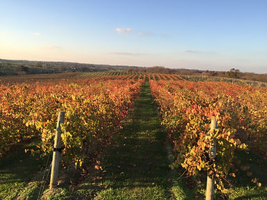Beautiful fall vineyard color