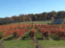 Another view of the fall colors in the vineyard