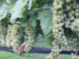 Cayuga White grapes