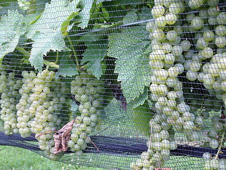 Cayuga White grapes