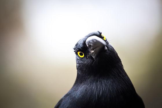 Australian Currawong Bird