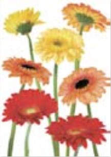 HiC4038 Big Gerbera Flowers