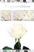 s0047 White roses