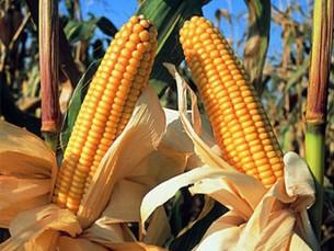 Conheça os mitos e asverdades sobre o 'Milho'