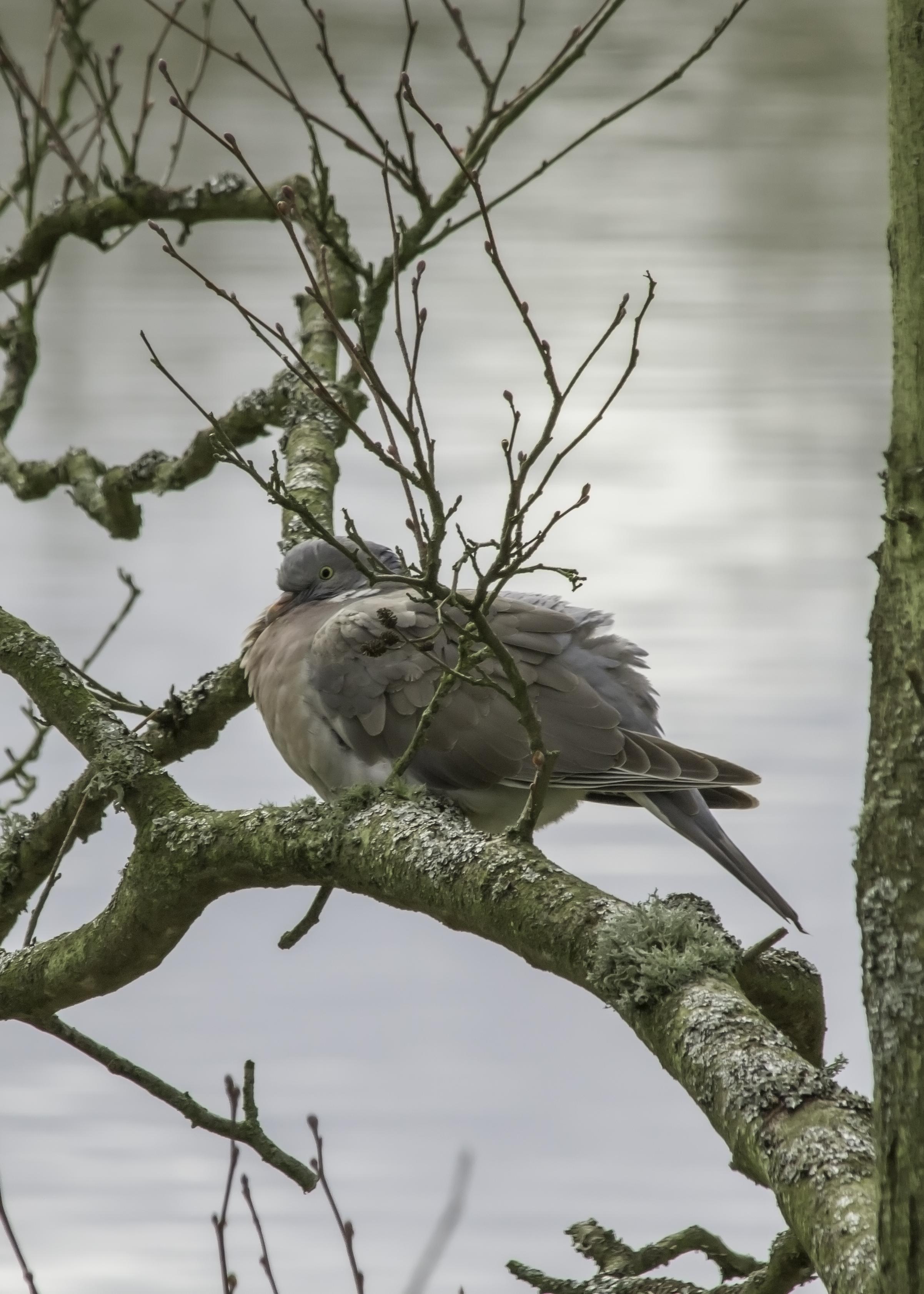 Roosting Pigeon