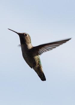 Anna's Hummingbird #1