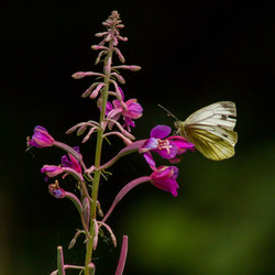 Rosebay Cabbage White