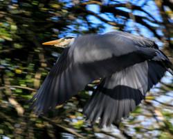 Heron Takes Flight