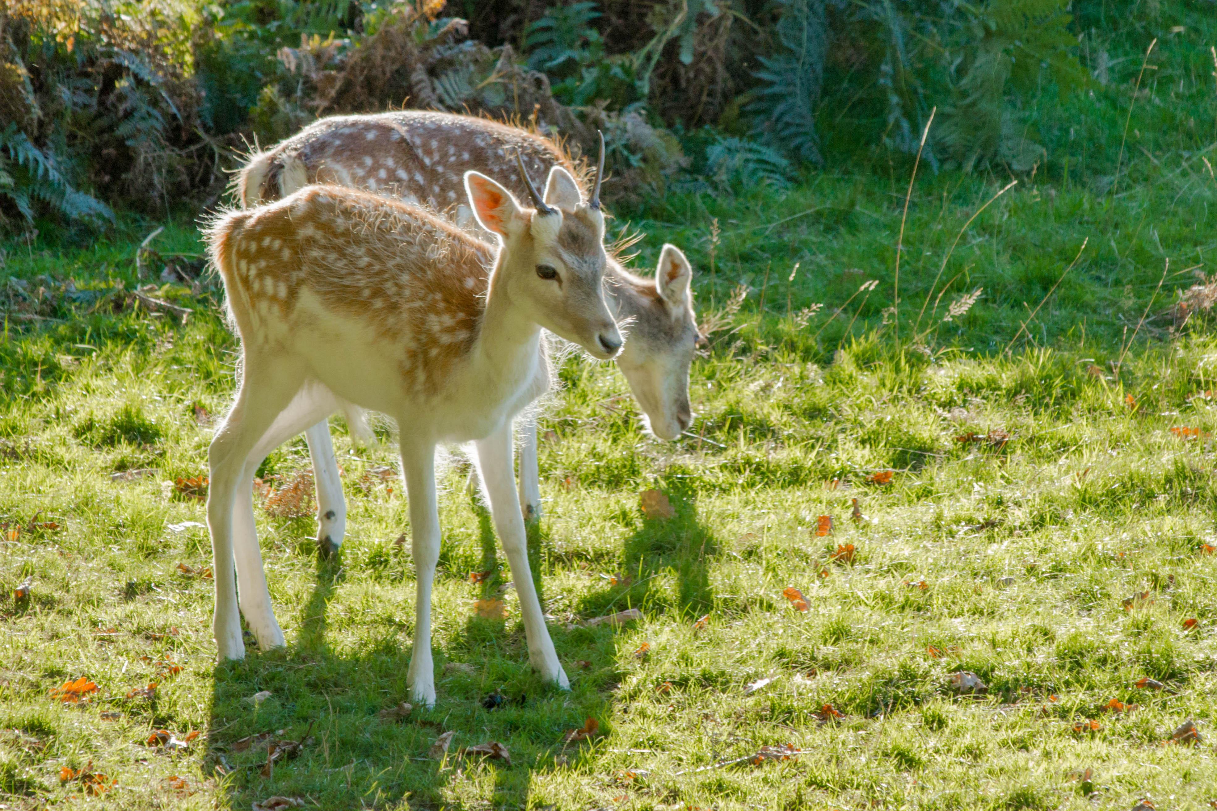 Fallow deer fawns