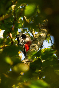 Greater spotted woodpecker at work