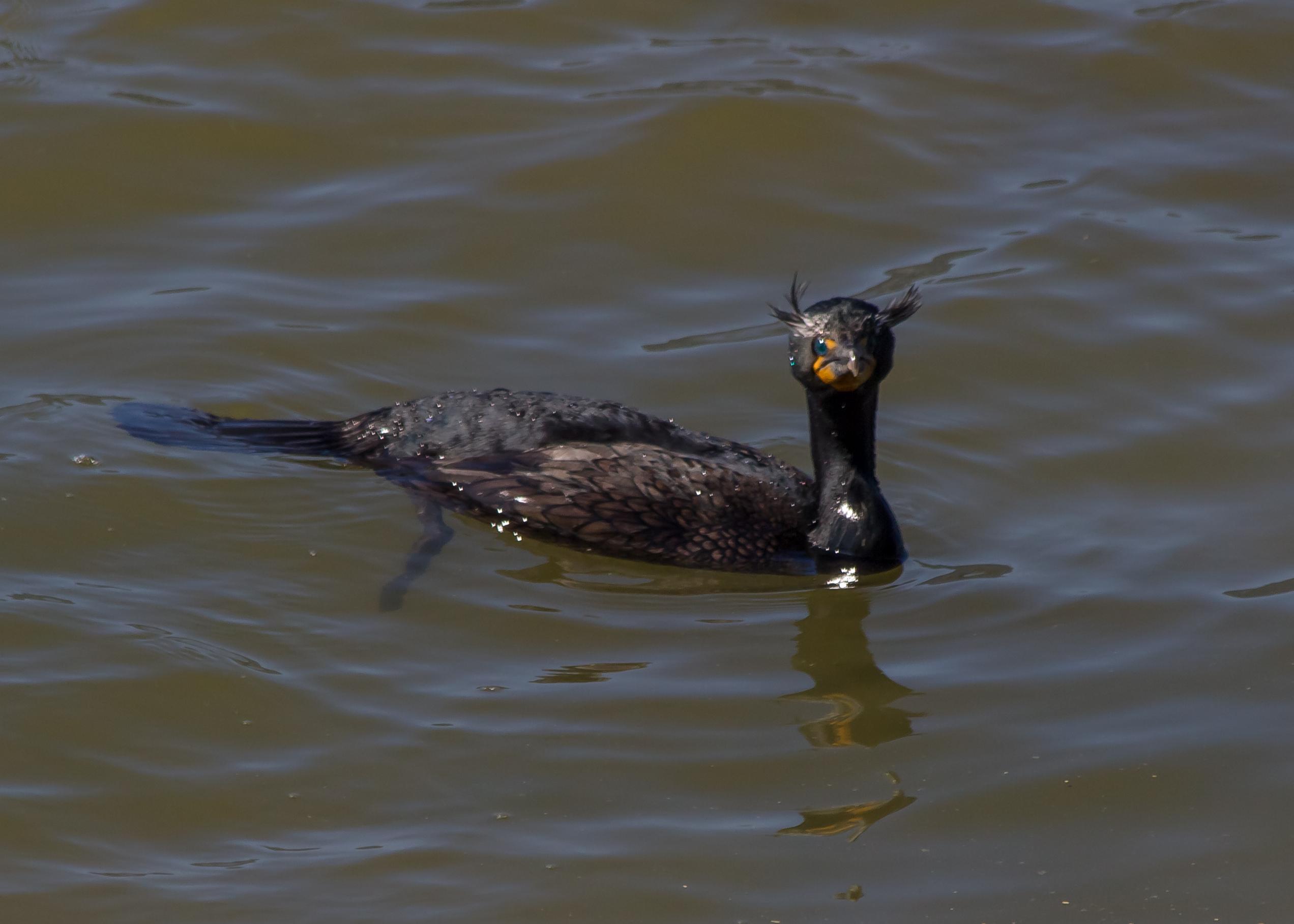 Cormorant (Ol' Blue Eyes)
