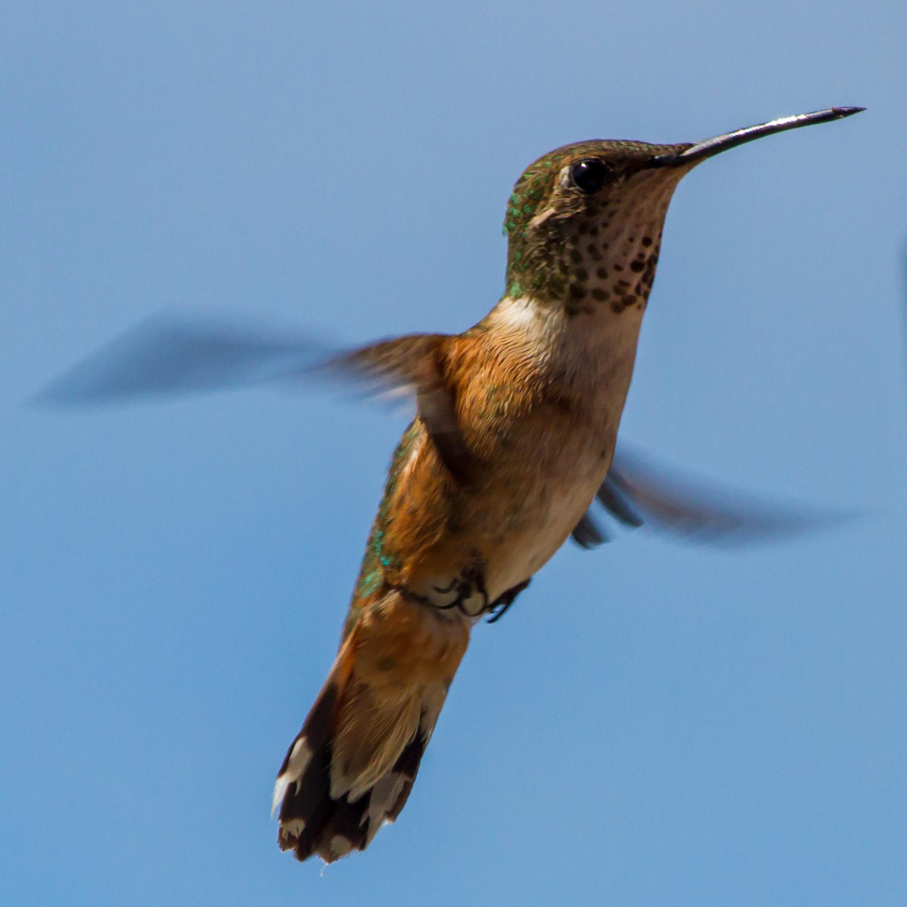 Rufous Hummingbird in the Sun