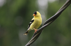 Canadian Goldfinch
