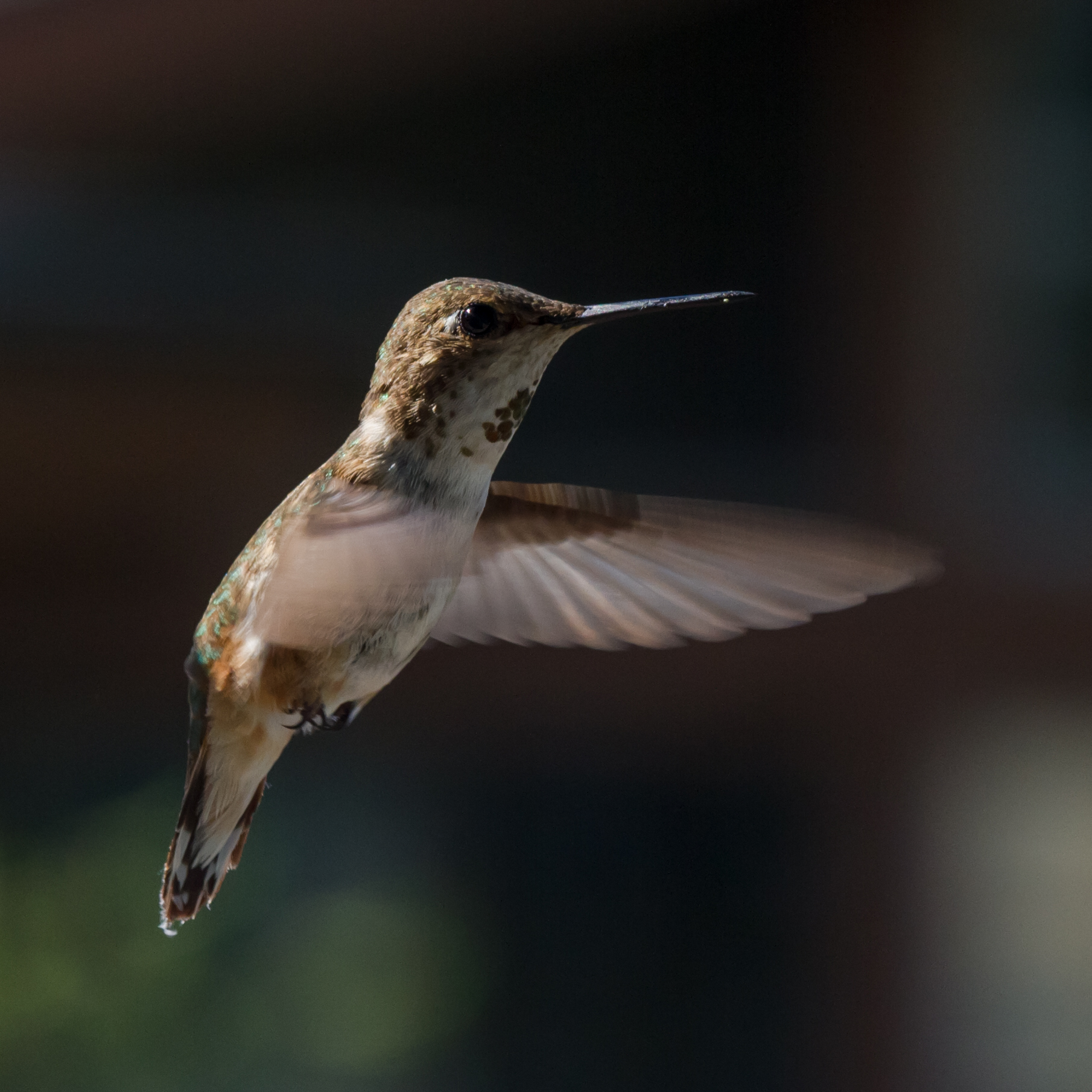 Anna's Hummingbird 2