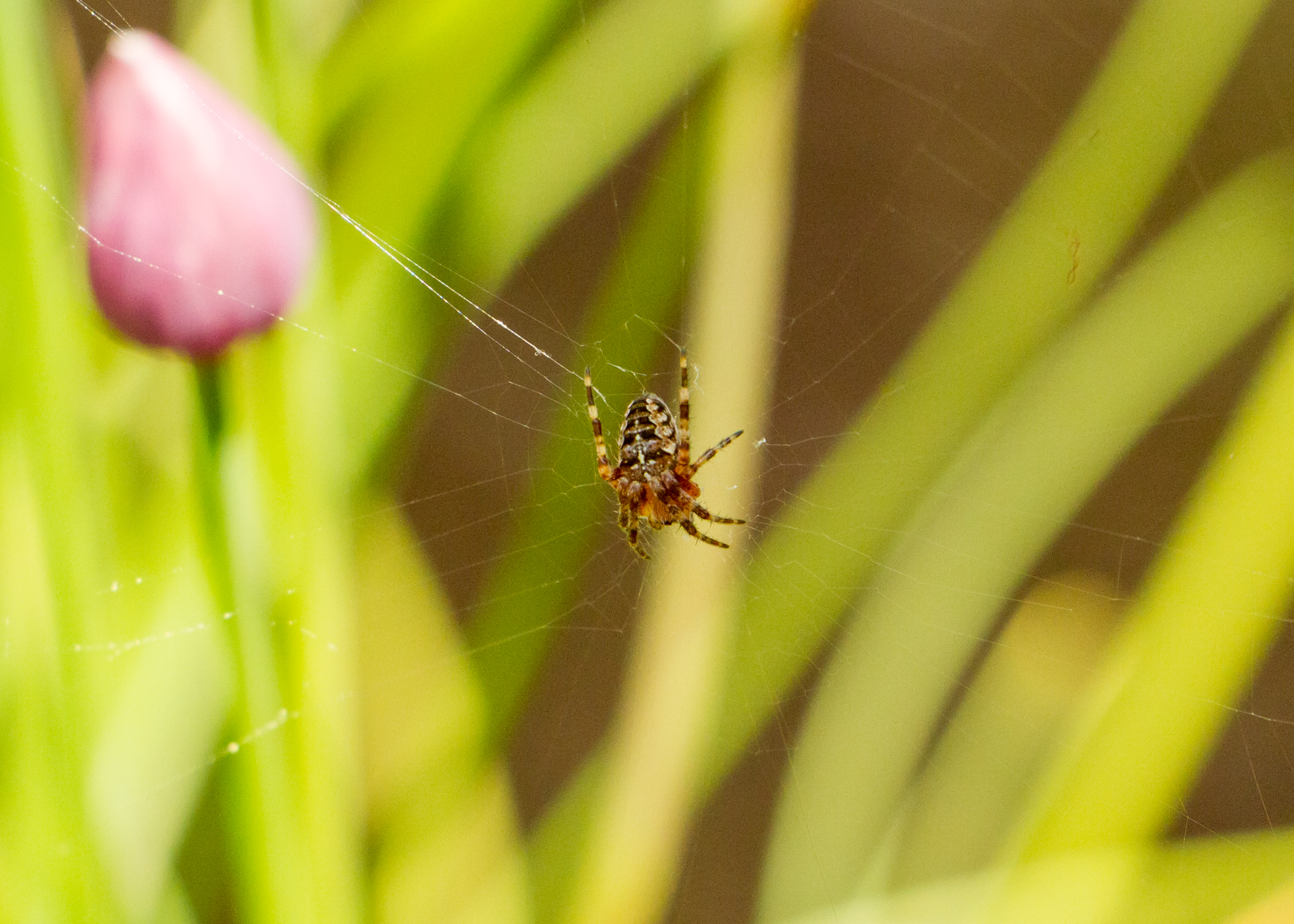 Mrs Garden Spider