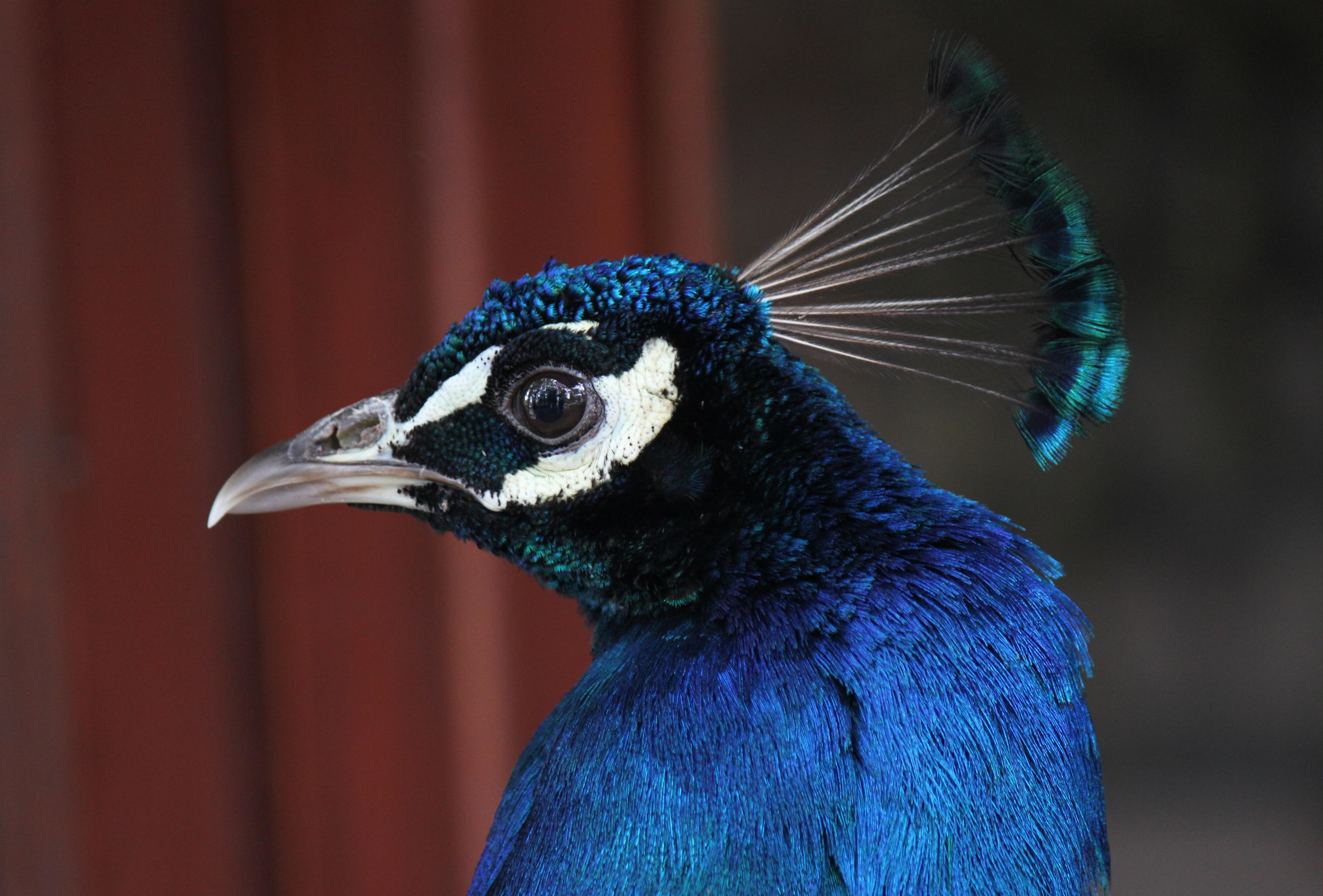Peacock Portrait