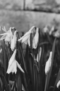 Daffodil Dew