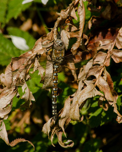 Dragonfly Camoflage