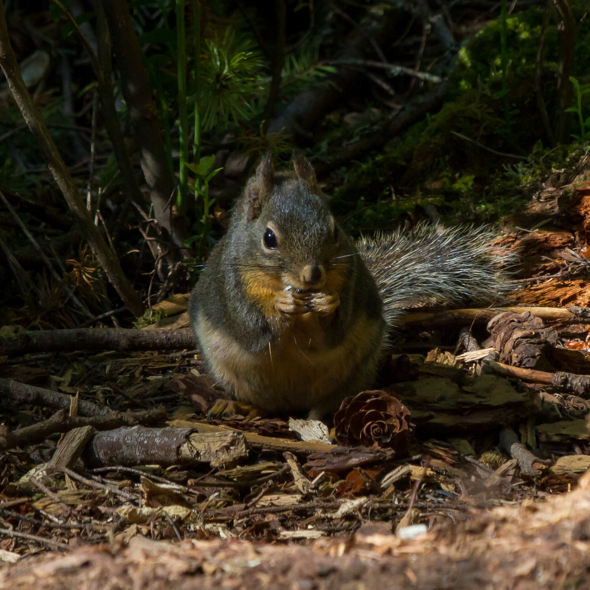 Douglas Squirrel and Pine Cone