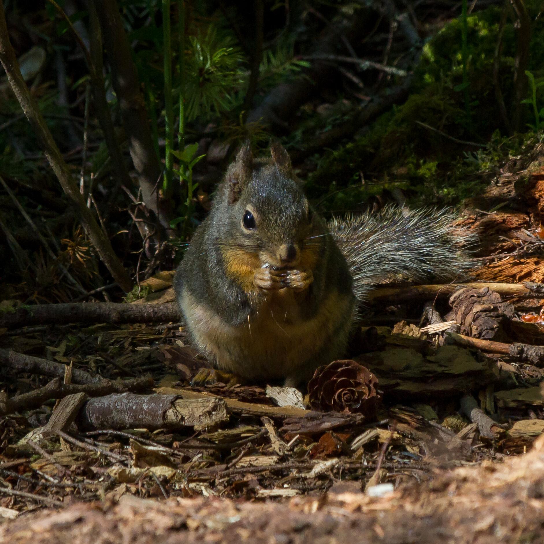 Douglas Squirrel and Pine Cone