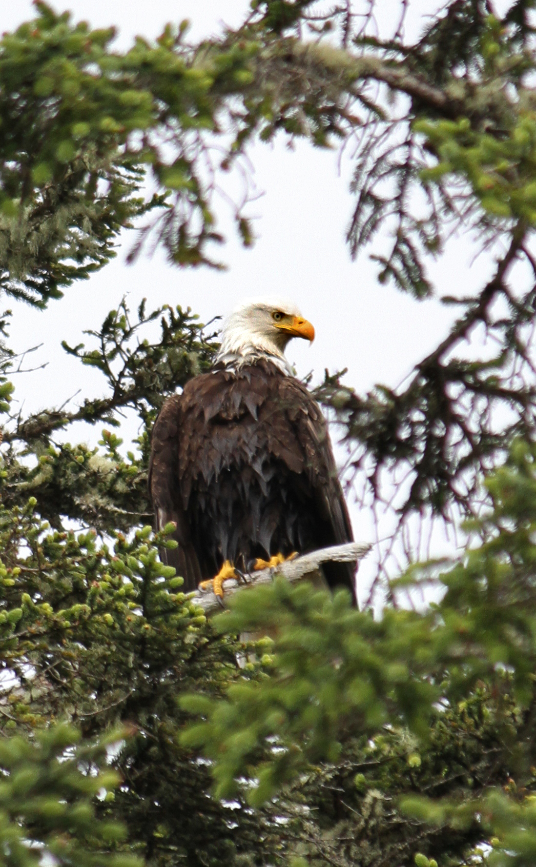Bald Eagle Drying Off