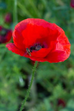Poppy and Hoverfly