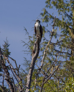 Osprey on Guard