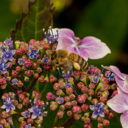 Hydrangea & Bee