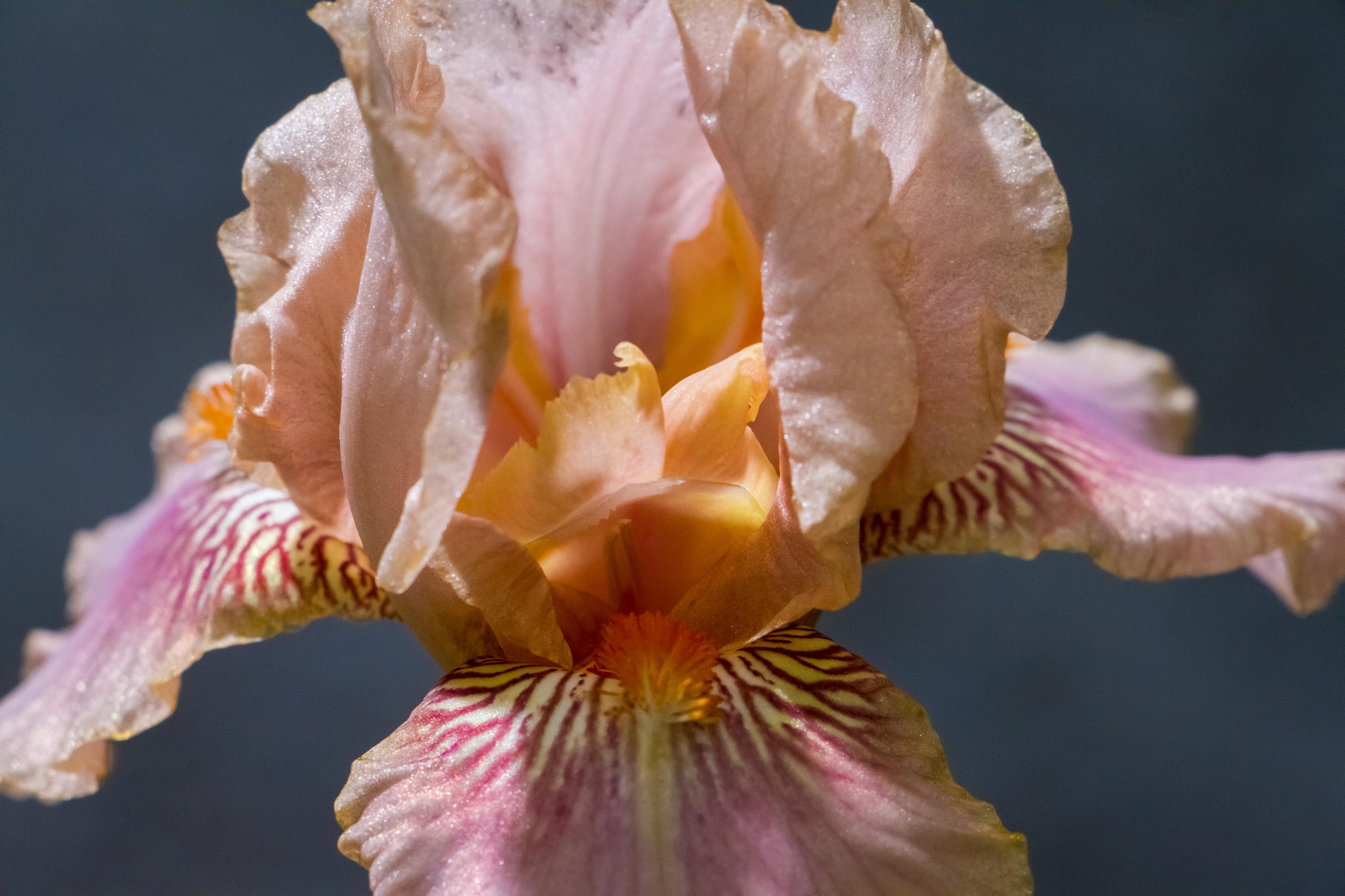 Fancy Iris