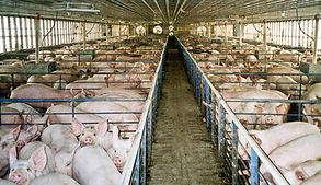 pigs15_300_1-farmsanctuary-org.jpg