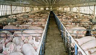 pigs15_300_1-farmsanctuary-org.jpg