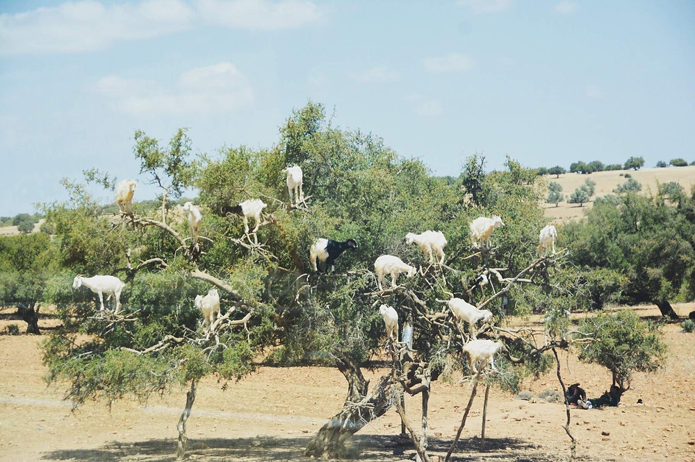 Goats in a tree, credit to Eddie, a friendly passenger in the coach with us for this great snap