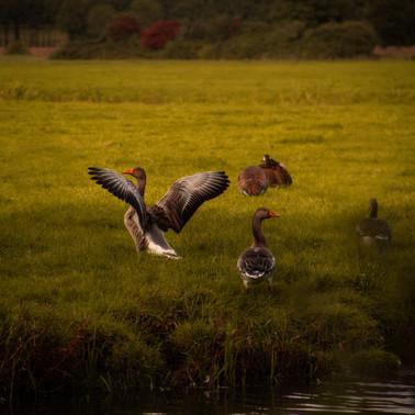 Goose_Painterly.jpg
